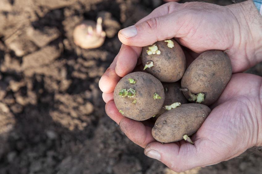 תפוח אדמה עם ניצנים לגידול חוזר