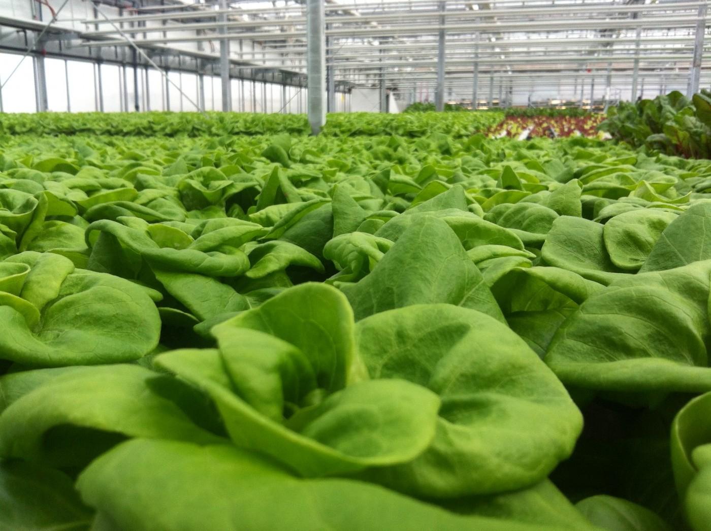 Lufa Farms חממות גידול הידרופוניות במונטריאול, קנדה 4