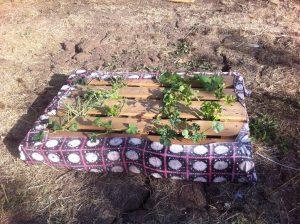 גינת ירק אבטיח מלון מלפפון במשטח, גינה אורגנית