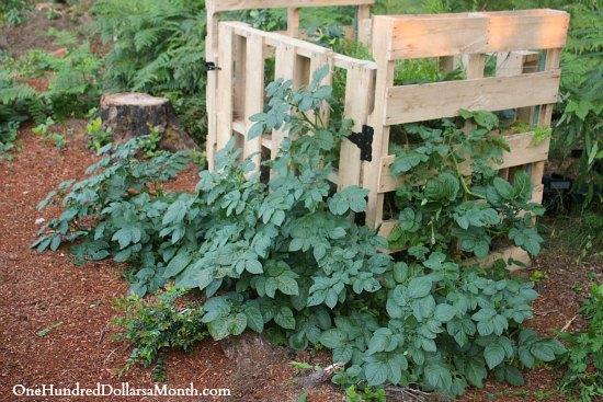 שימוש במשטחי עץ לגידול תפוח אדמה בגינה