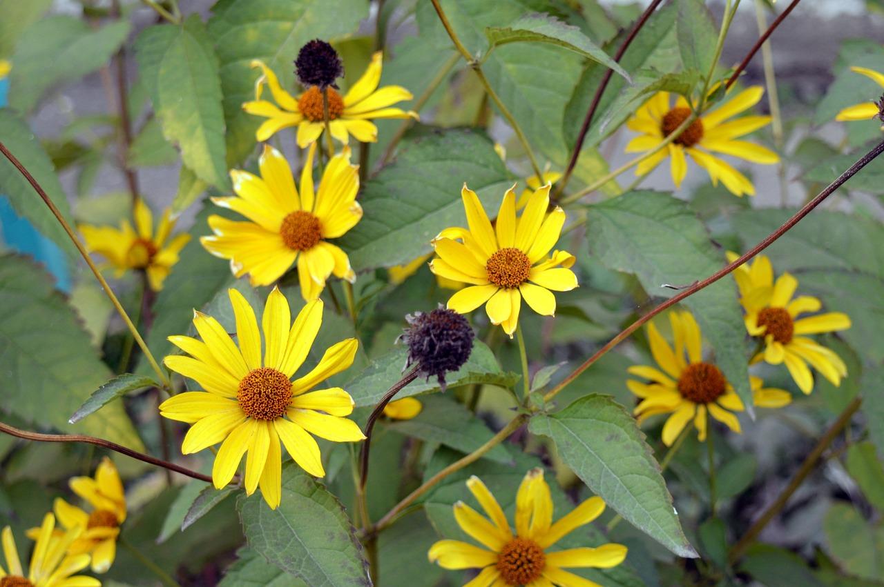 צמח קל לגידול רב שנתי שתלטן