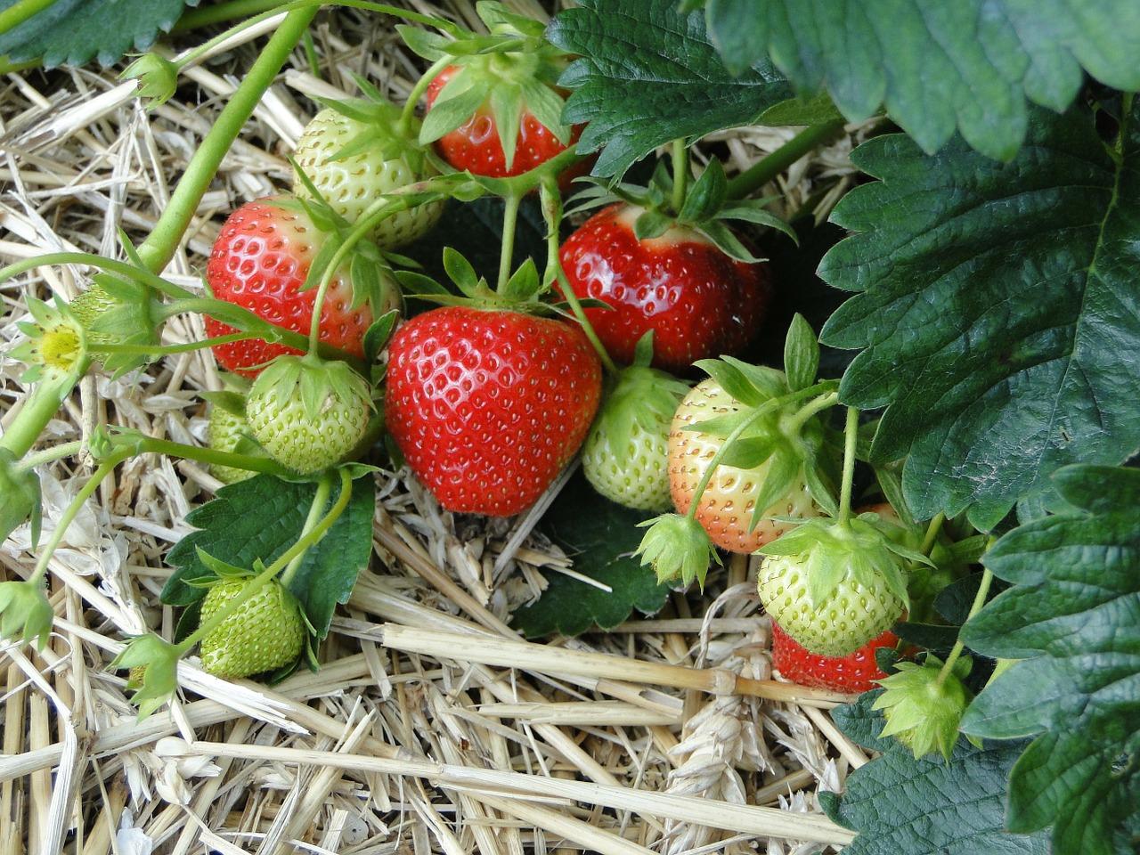 גידול ירקות רב שנתי - תות שדה