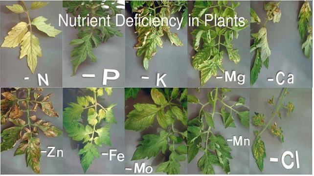 מחסור תזונתי בצמח