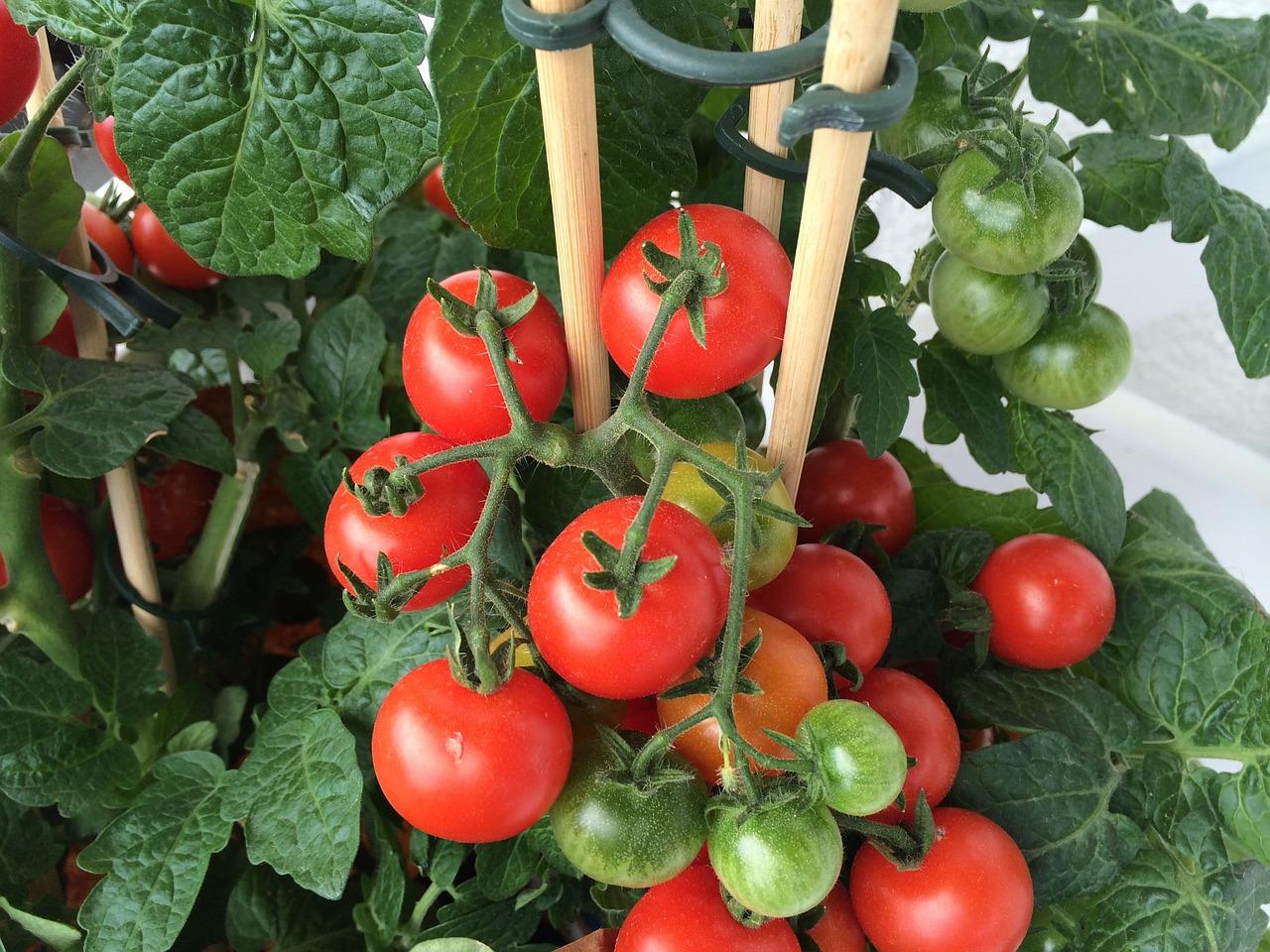 פרי צמח העגבניה