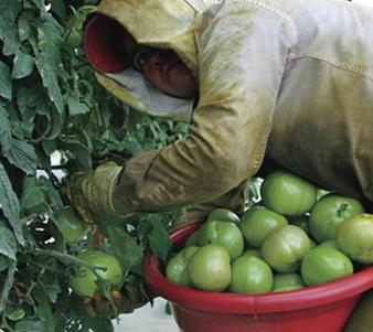 קטיף עגבניות לפני הזמן