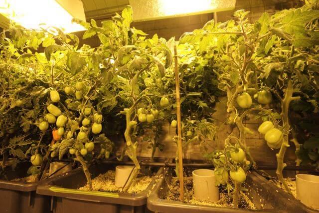 עגבניות הידרופוניות המגודלות בחדר הגידול ההידרופוני באנטרקטיקה