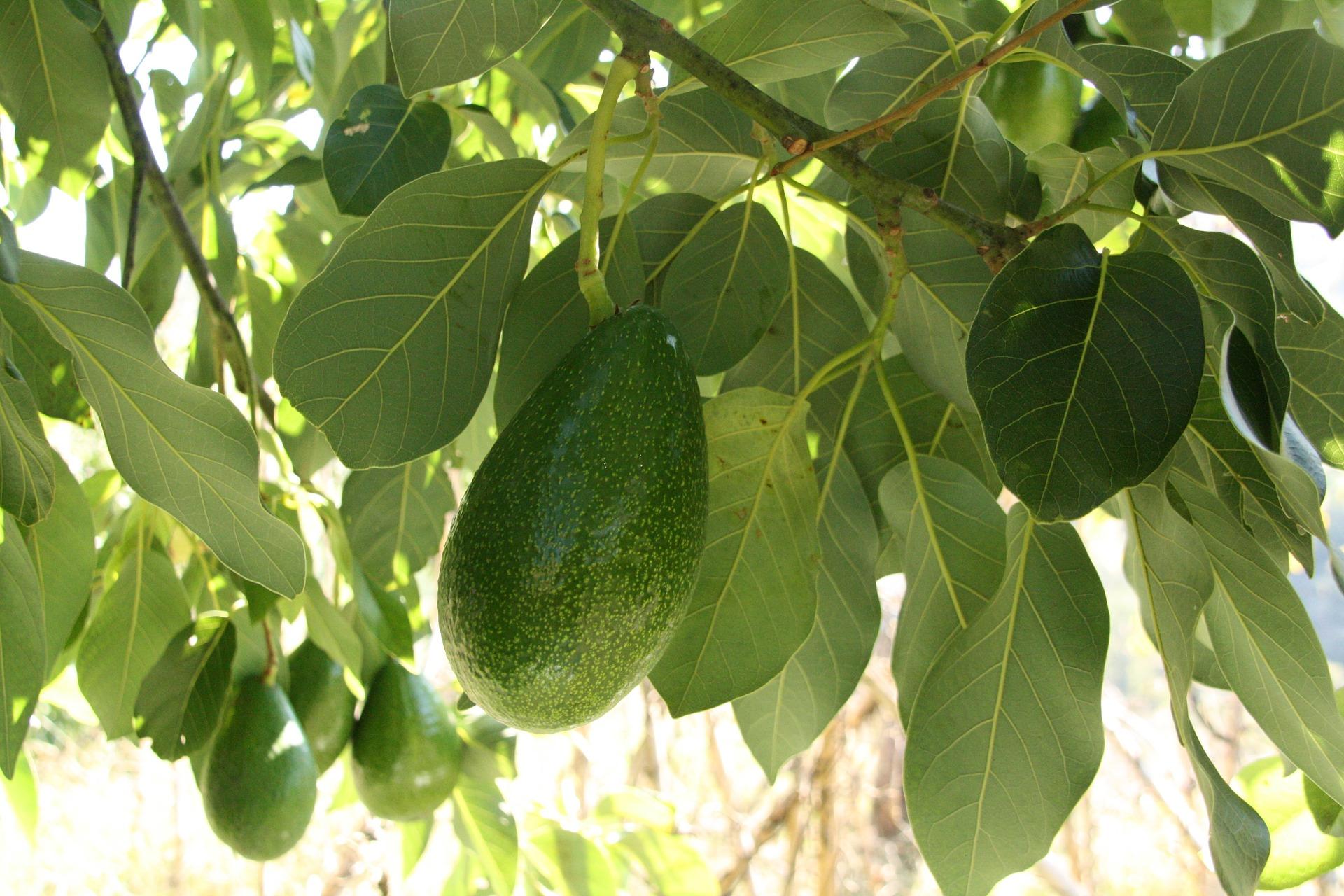 עץ אבוקדו מגרעין