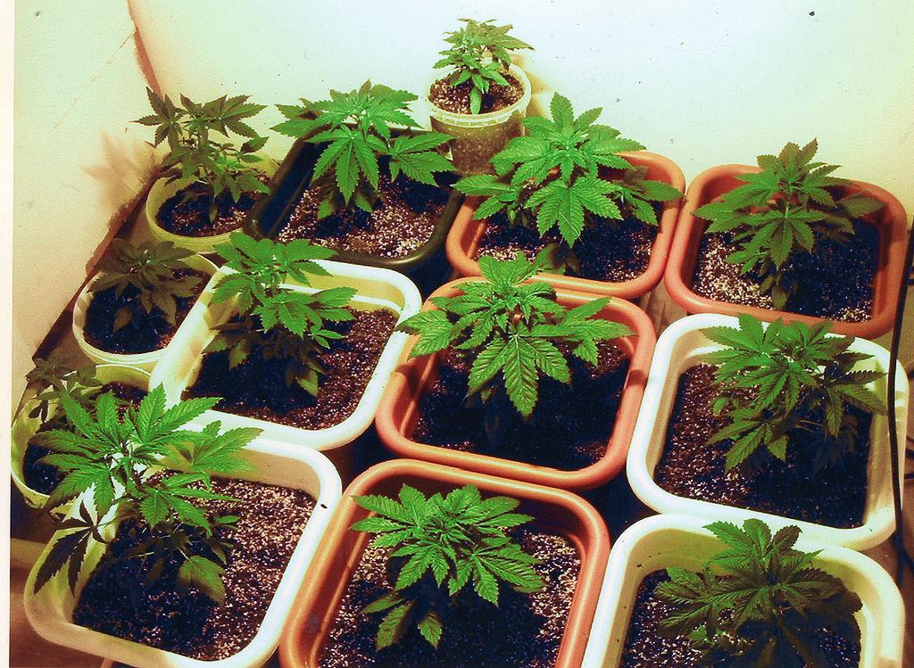 לגדל קנביס בבית מחזור חיי הצמח