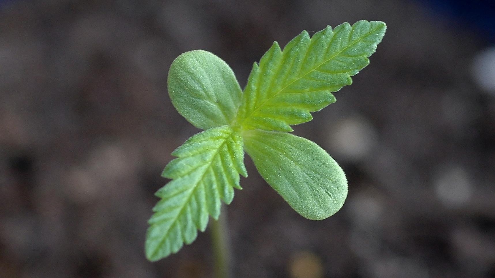 הנבטה של זרע קנביס