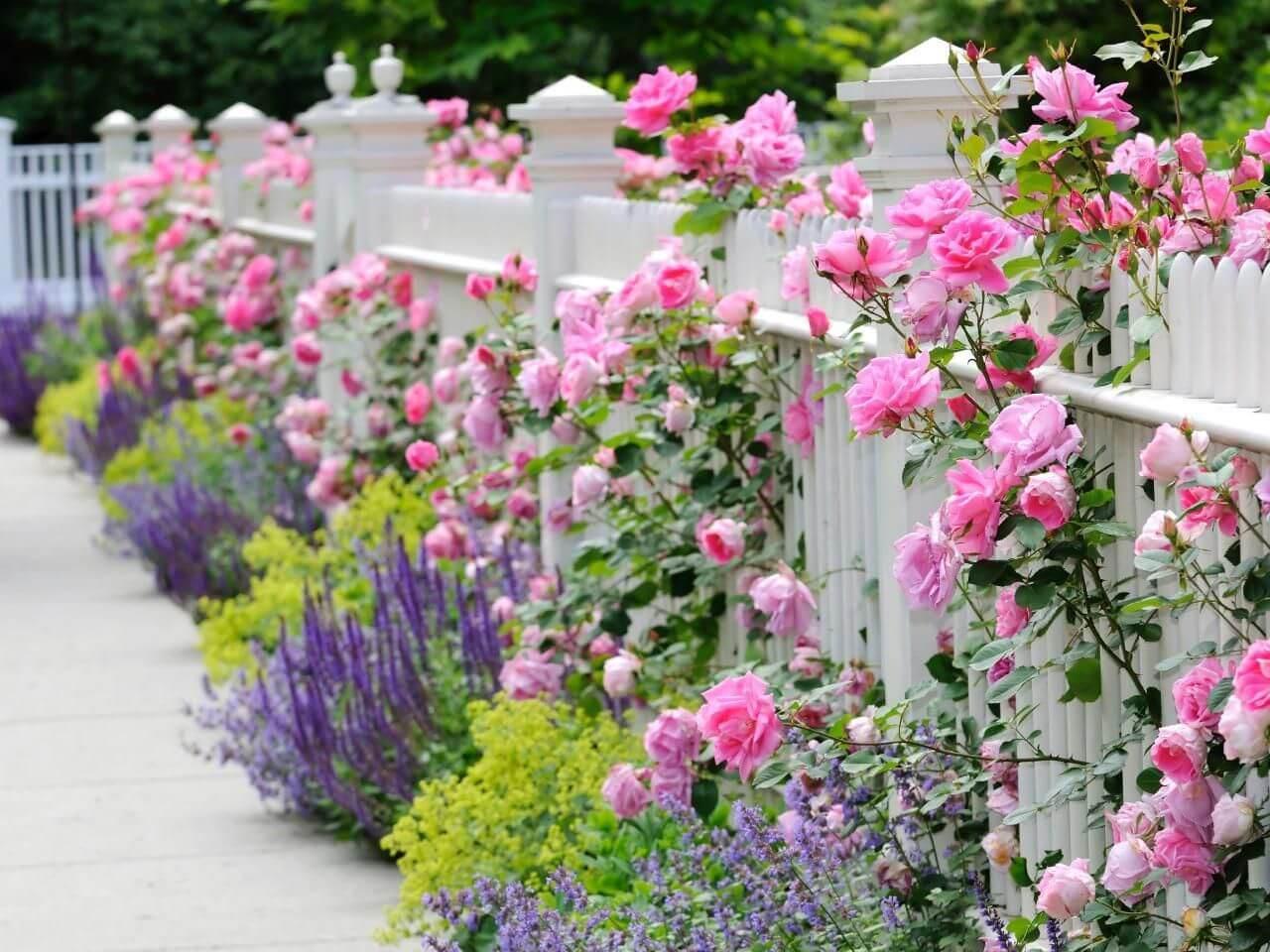 גדר ורדים גינה מעוצבת