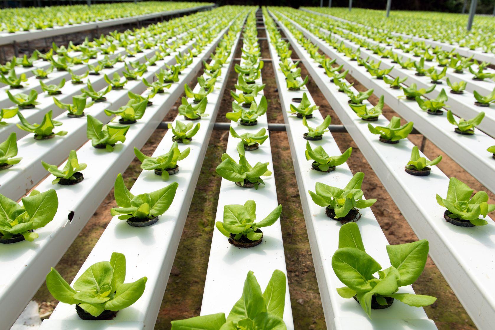 ירקות הידרופונים גדלים בחממה