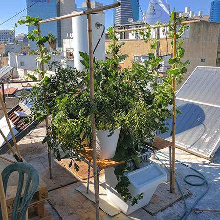 גידול ירקות על גג בתל אביב במערכת הידרופונית