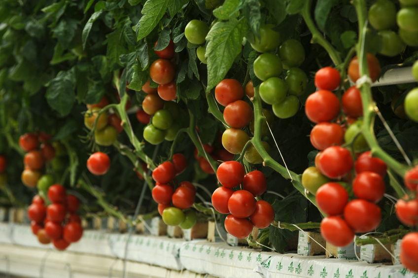 כיצד לבחור צמחים לגידול במערכת הידרופונית
