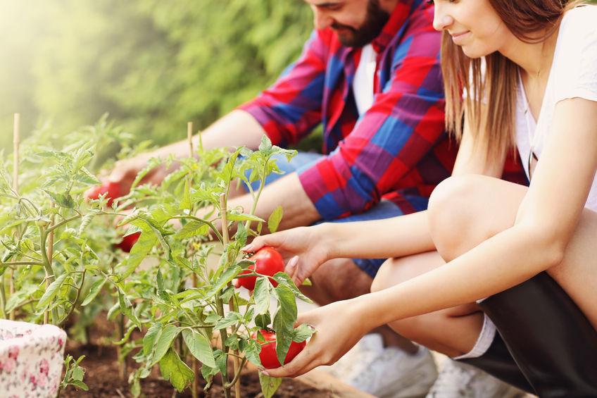 דישון אדמה לגידול ירקות