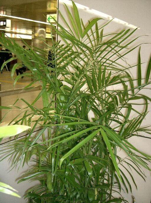 צמח בית צל מלא דקל במבוקים