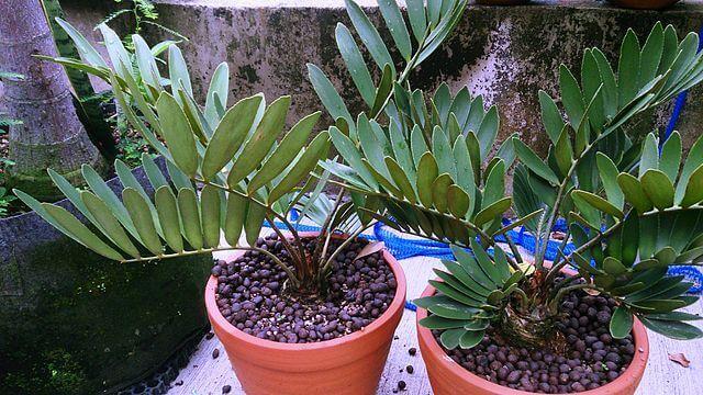צמח הזמיה לגידול בתוך הבית
