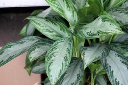 אגלונמה צמחי בית ללא אור