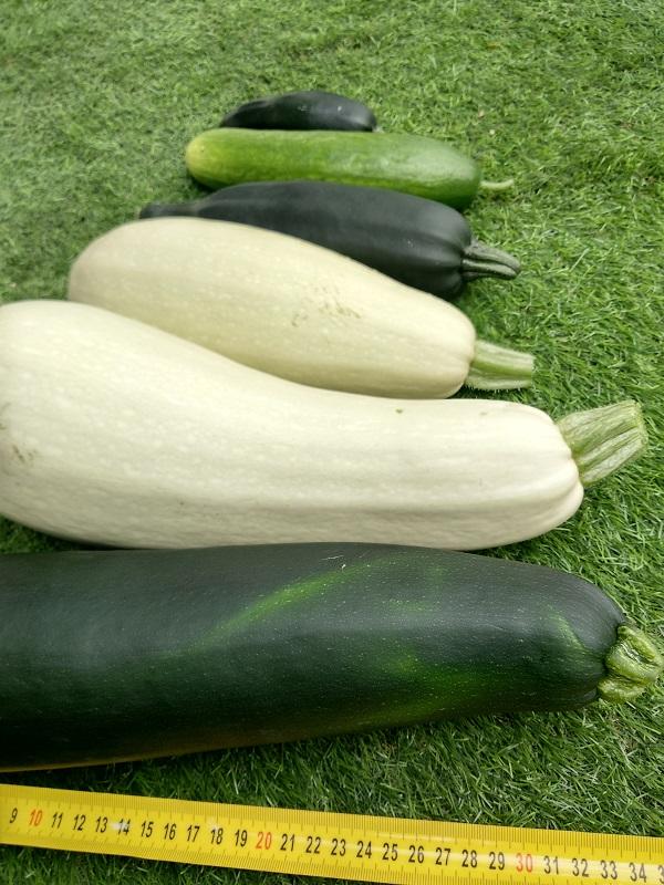 ירקות במערכת הידרופונית