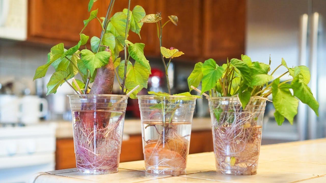 גידול בטטה בכוס מים