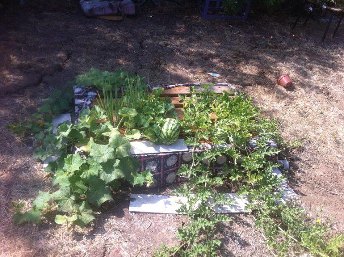 הקמת גינת ירק מדהימה בתוך משטח בחצי שעה