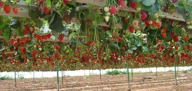 חממה הידרופונית לגידול תותים
