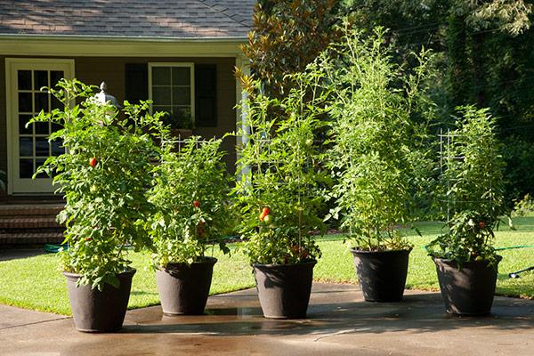 עגבניות באדניות
