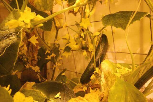גידול מלפפונים בחווה ההידרופונית באנטקרטיקה