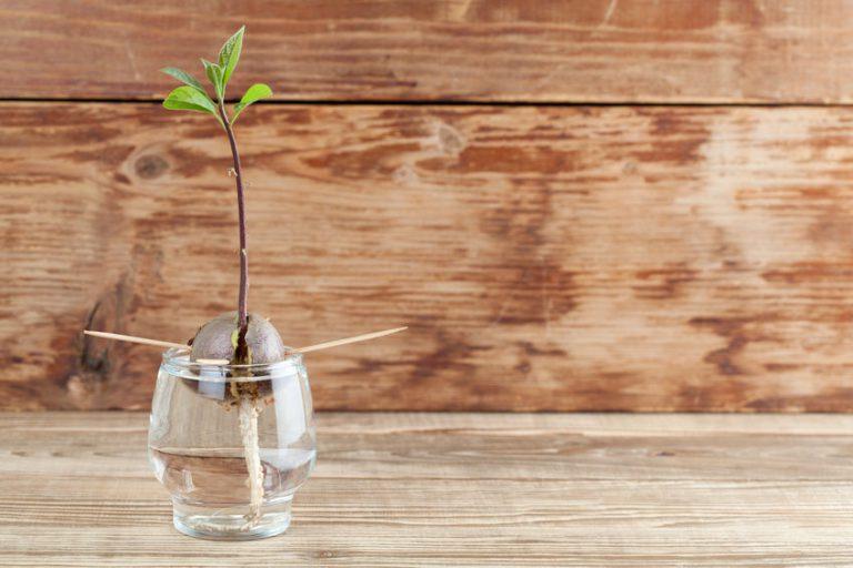 איך להנביט אבוקדו נכון בכוס מים וכיצד לגדלו כך שיניב פרי?