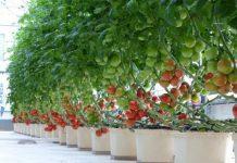 גידול צמחים גדולים בהידרופוניקה עם דלי באטו באקט