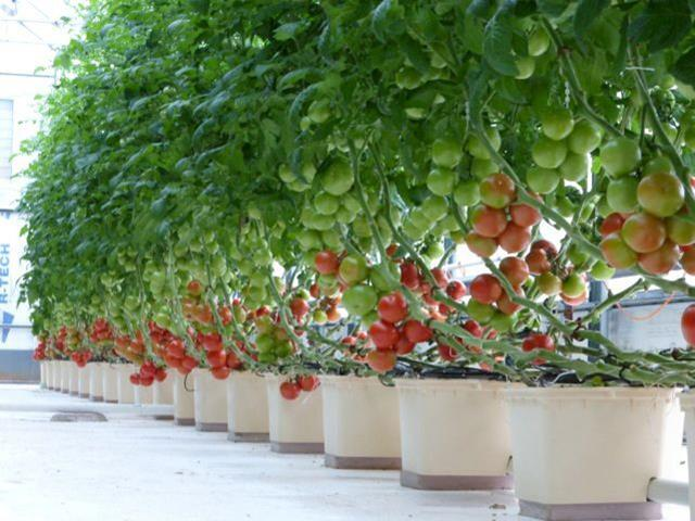 לגדל כמו חקלאי אירופאי: באטו באקט, מערכת הידרופונית לצמחים גדולים ומטפסים למתחילים