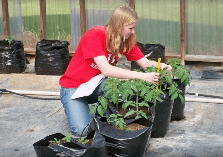 ניסוי בבית ספר: האם עדיף לגדל עגבניות בהידרופוניקה או באדמה? התוצאות חד משמעיות