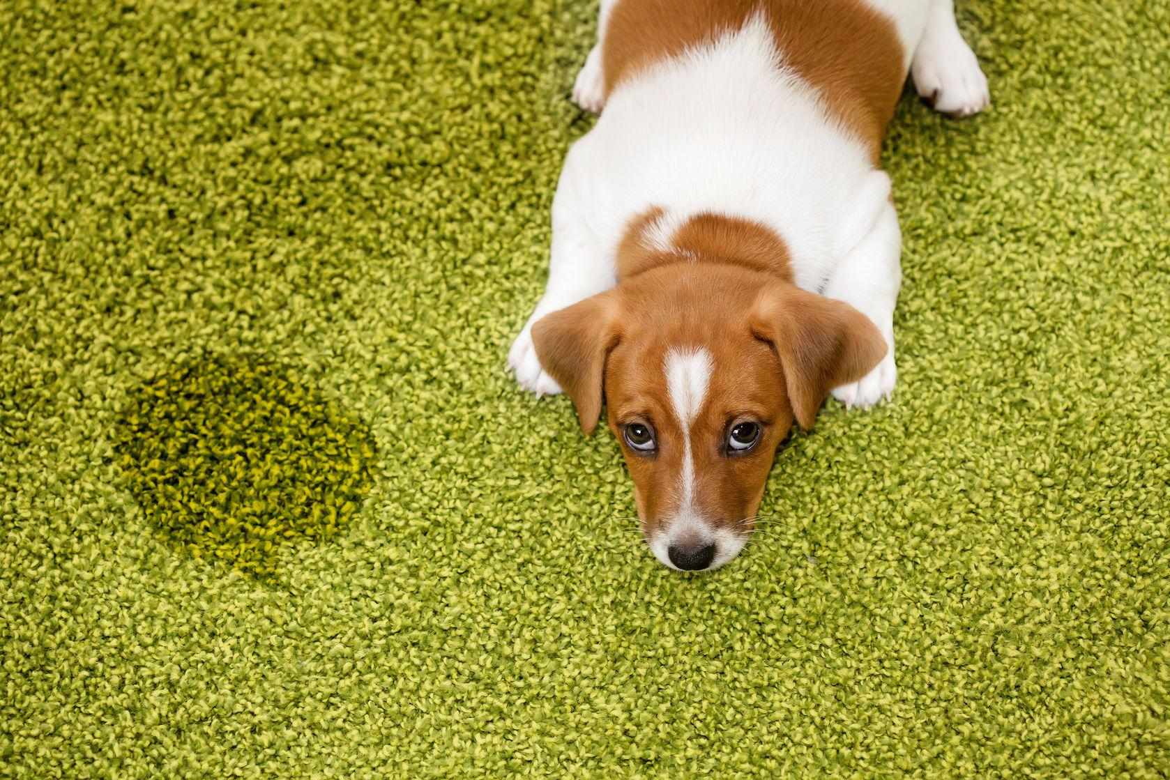 כלב שעשה פיפי על דשא סינתטי