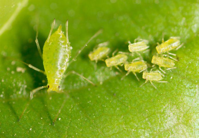 כנימות עלה ירוקות - מזיקים בגינה